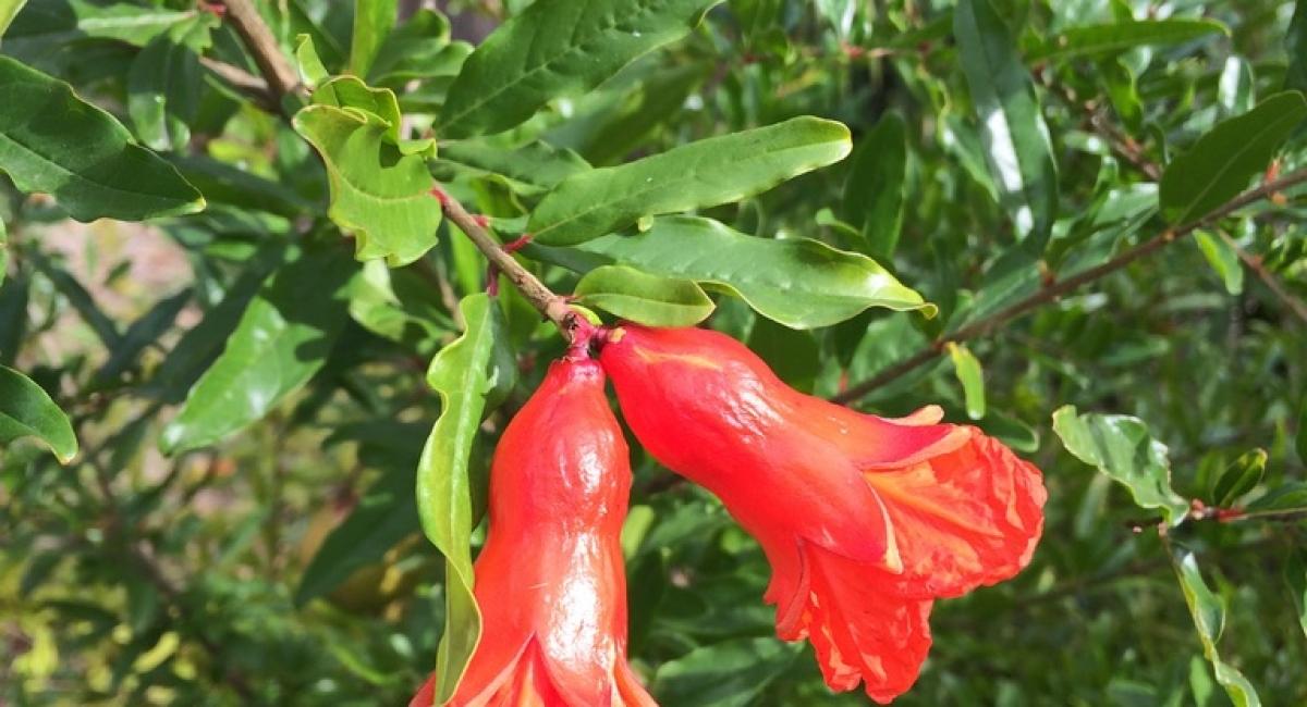 pommegranite Flower2